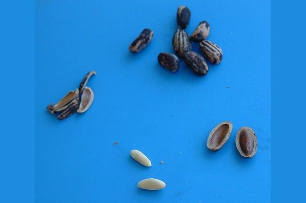 European-stone-pine-nuts